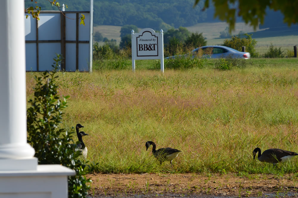 A small Gaggle of Geese have a Field Day outside the LENDON Welcome Center