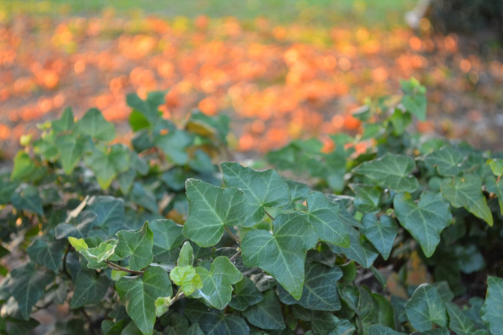 09. Sun lights up the Leaves beyond a patch of ivy in Jones Valley_0725
